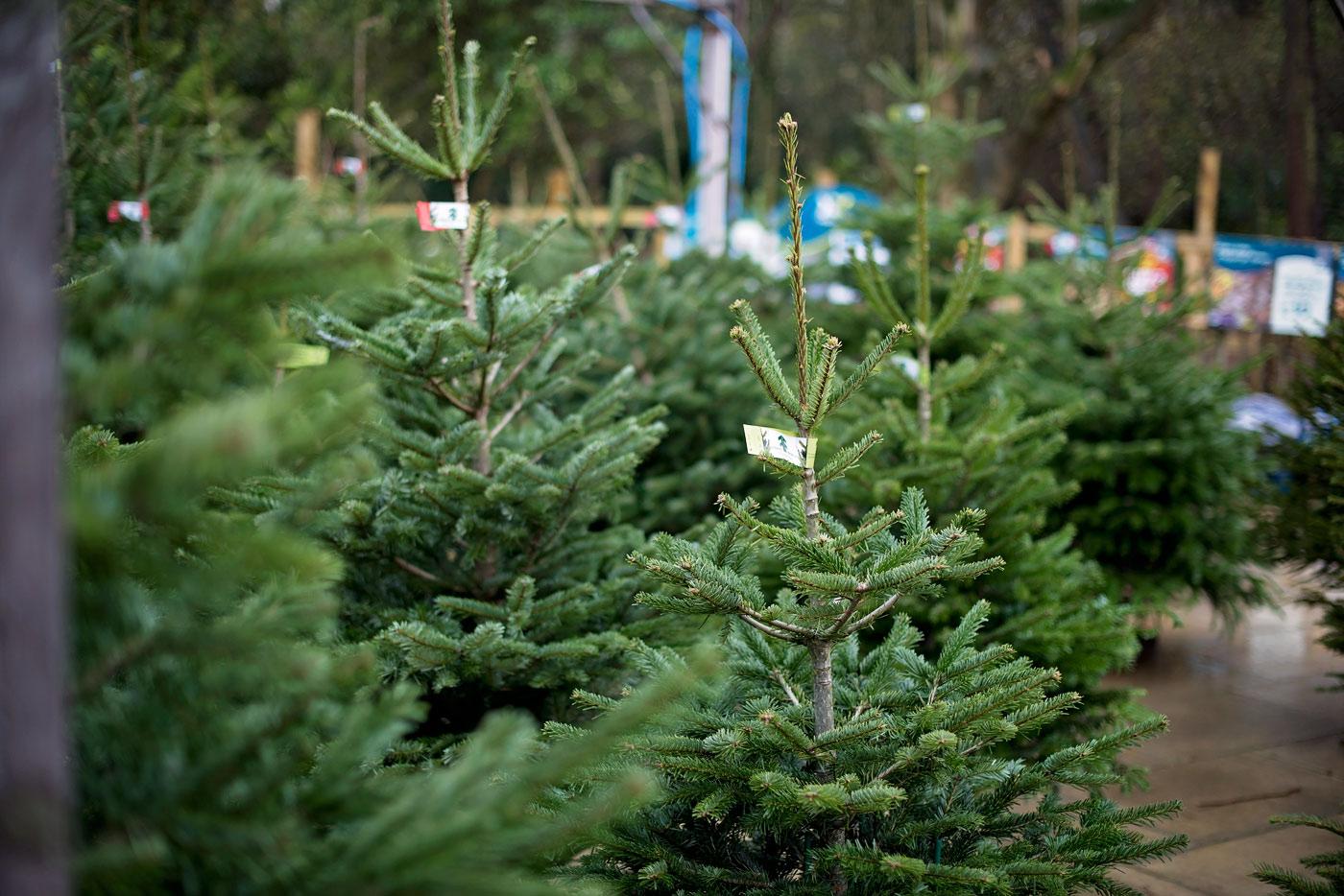Christmas Trees Cannon Hall